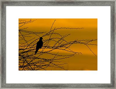 Morning Dove Framed Print by Kelly Gibson