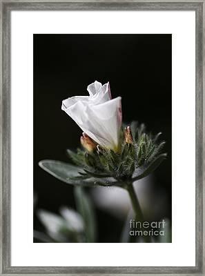 Morning Glory Framed Print by Joy Watson