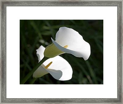 Morning Light Calla Lily Flowers  Framed Print by Jennie Marie Schell