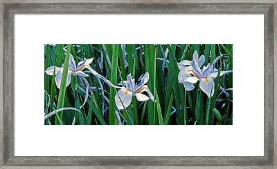Morning Smile - Wild African Iris Framed Print by Donna Proctor