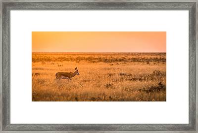 Morning Stroll - Springbok Antelope Photograph Framed Print by Duane Miller