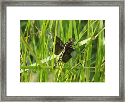 Mosquito Hawk Framed Print by Shelley Blair