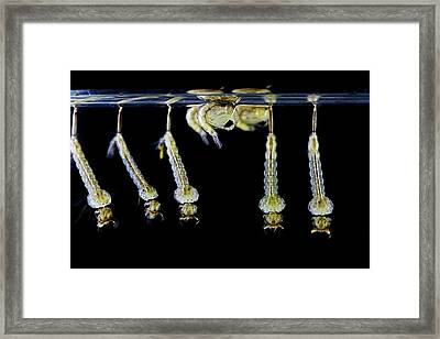 Mosquito Larvae And Pupae Framed Print by Frank Fox