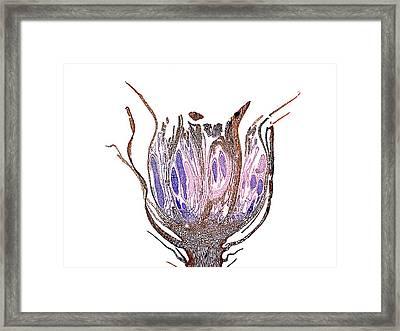 Moss Perigonium Framed Print by Dr Keith Wheeler