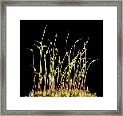 Moss Spore Capsules Framed Print by Us Geological Survey