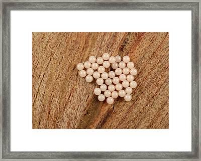 Moth Egg Cluster Framed Print by Nigel Downer