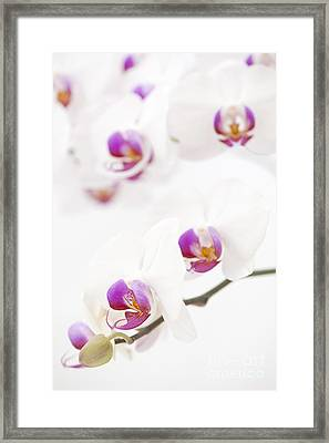 Moth Orchid Framed Print by Anne Gilbert