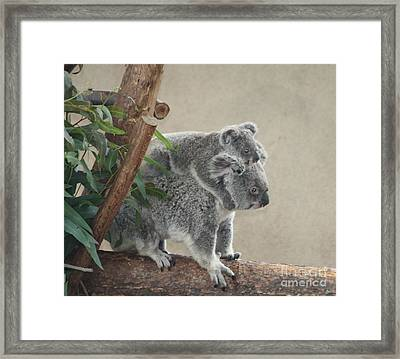 Mother And Child Koalas Framed Print by John Telfer