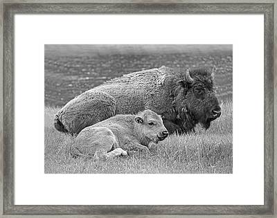 Mother Buffalo And Calf Black And White Framed Print by Jennie Marie Schell