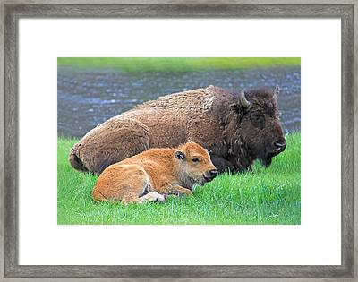 Mother Buffalo And Calf Yellowstone Framed Print by Jennie Marie Schell
