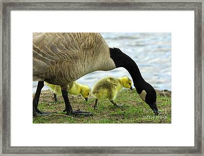 Mother Goose Framed Print by Bob Christopher