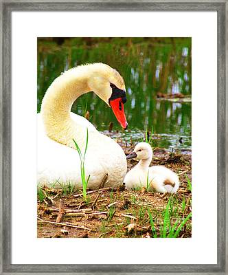 Mother Swan And Baby Framed Print by Nick Zelinsky