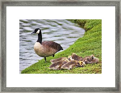 Mother With Goslings Framed Print by Jason Politte