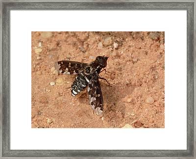 Mottled Bee-fly Framed Print by Nigel Downer