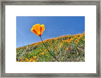 Mount Diablo Poppy Field Framed Print by Robert Rus