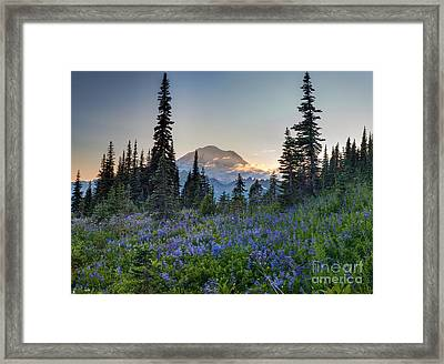 Mount Rainer Flower Fields Framed Print by Mike Reid