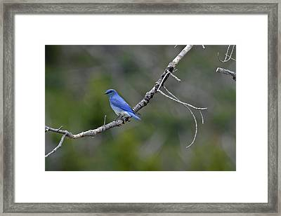 Mountain Bluebird In Yellowstone National Park Framed Print by Bruce Gourley