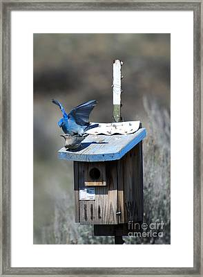 Mountain Bluebirds Mating Framed Print by Mike  Dawson