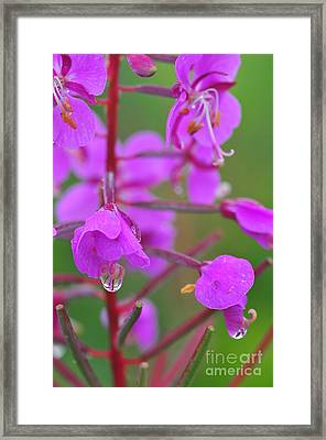 Mountain Dew Framed Print by Catherine Reusch  Daley