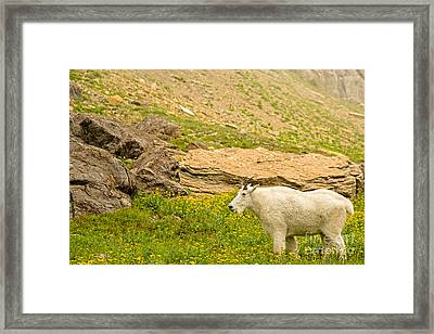 Mountain Goat In The Mountains Framed Print by Natural Focal Point Photography