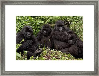 Mountain Gorilla Susa Group Framed Print by Ingo Arndt