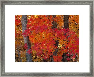 Mountain Maple Tree Framed Print by Leland D Howard