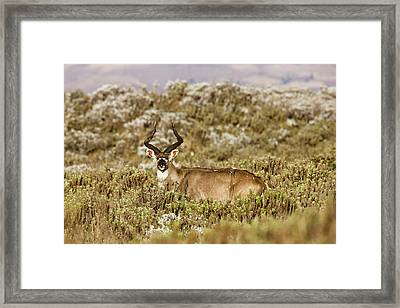 Mountain Nyala In Bale Mountains Framed Print by Martin Zwick