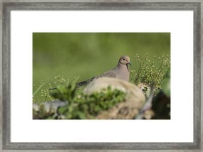 Mourning Dove 1 Framed Print by David Lester