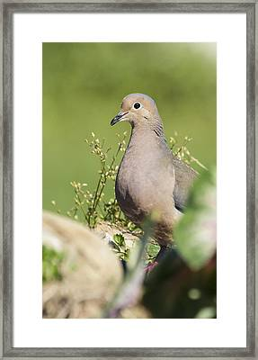 Mourning Dove 2 Framed Print by David Lester