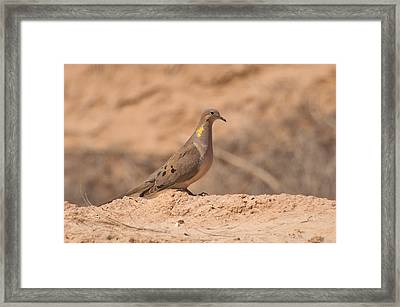Mourning Dove Framed Print by Rich Leighton