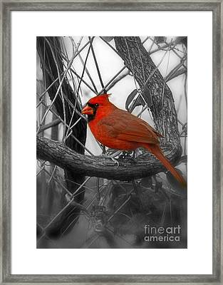 Mr Cardinal -card Framed Print by Sandra Clark