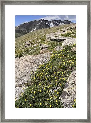 Mt. Evans Wildflowers Framed Print by Aaron Spong