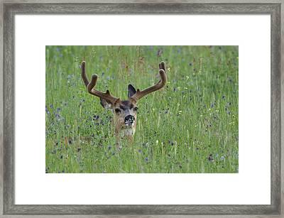 Mule Deer Buck In Wildflower Meadow Framed Print by Tom Reichner