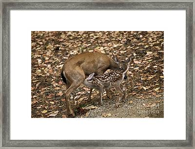 Mule Deer Doe And Fawn Framed Print by Ron Sanford