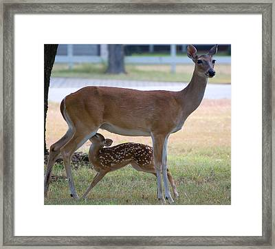 Mule Deer Nursing Framed Print by Roy Williams