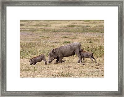 Multi-tasking Warthog  Framed Print by Chris Scroggins