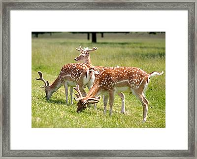 Multitasking Deer In Richmond Park Framed Print by Rona Black