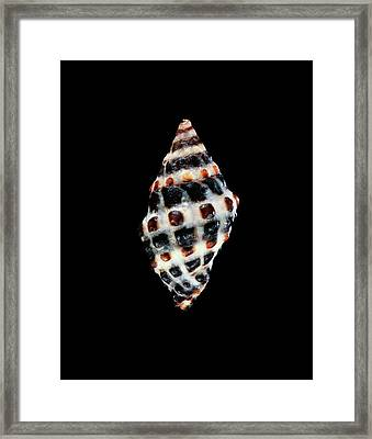 Murex Sea Snail Shell Framed Print by Gilles Mermet