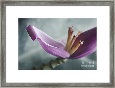 Musa Ornata - Pink Ornamental Banana Flower - Kepaniwai Maui Hawaii  Framed Print by Sharon Mau