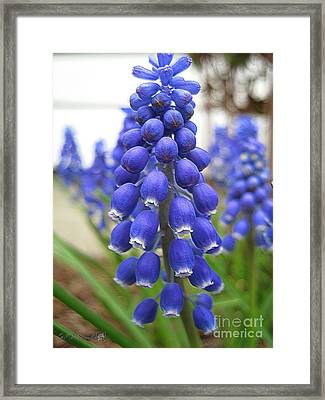 Blue Grapes Framed Print featuring the mixed media Muscari Or Grape Hyacinth by J McCombie