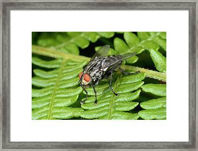 Muscid Fly Framed Print by Nigel Downer