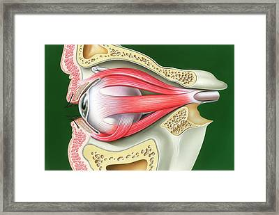 Muscles Of The Eye Framed Print by John Bavosi