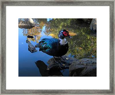 Muscovy Duck Framed Print by Frank Wilson