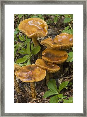 Mushroom Growing In Forest Understory Framed Print by Hal Gage