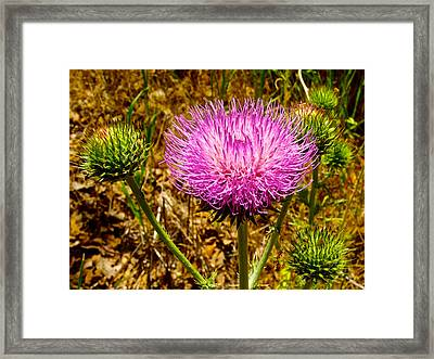 Musk Thistle In Park Sierra-ca Framed Print by Ruth Hager