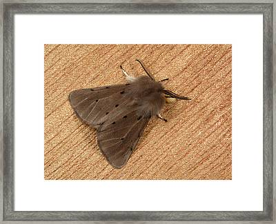 Muslin Moth Framed Print by Nigel Downer