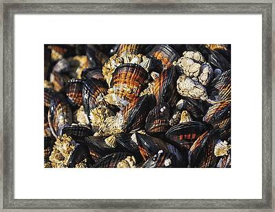 Mussels And Barnacles Framed Print by Mark Kiver