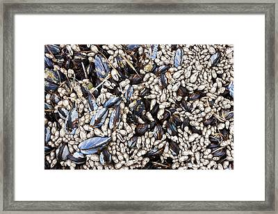 Mussels And Barnacles, Olympic National Framed Print by Art Wolfe