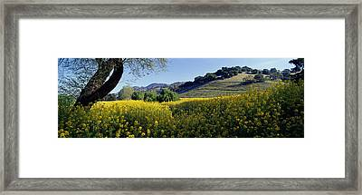 Mustard Flowers In A Field, Napa Framed Print by Panoramic Images