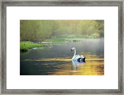 Mute Swan Framed Print by Alex Hyde